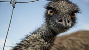 Piliscsaba egy percig Ausztrália volt: szökött emut fotóztak