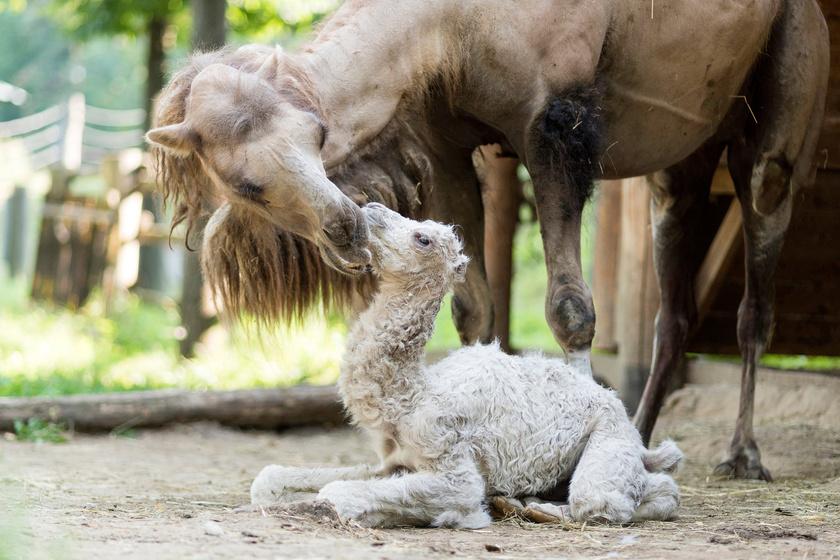Az újszülött kétpúpú tevekanca anyjával a Nyíregyházi Állatparkban 2017. június 28-án.