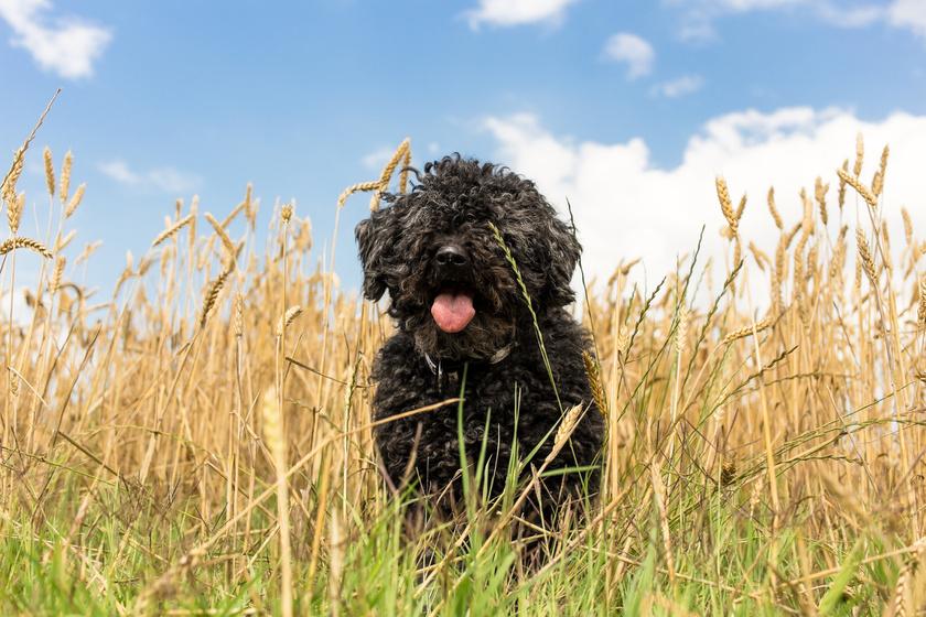 A hipoallergén kutyák egyik titka, hogy szinte mindegyik fajtának gondos ápolást igényel a szőre, azt rendszeresen kutyakozmetikusnak kell kezelnie. Önmagában már ez is kockázatcsökkentő tényező, de az is sokat jelent, ha egy fajtának kevésbé vagy nem hullik a szőre. Ilyen például a puli is.