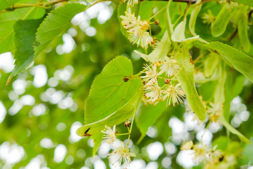 A fák közül nyáron, egészen július végéig a hársfa virágai lehetnek különösen allergének, kevésbé szerencsések azok, akiknek nem az elbűvölő, édes illat jut eszébe róluk.