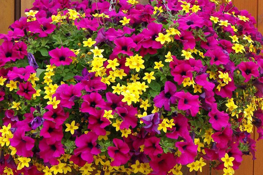 A pink petúnia igazán jól néz ki sárga virágokkal mixelve