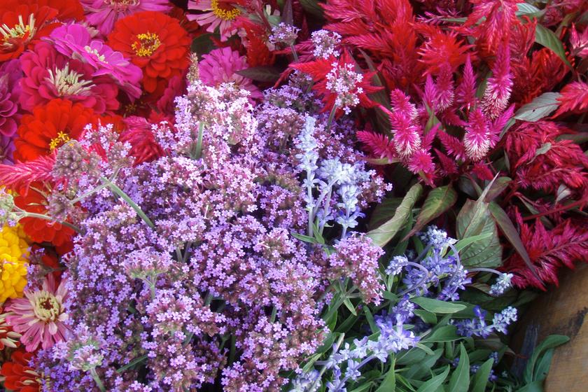 Az ernyős verbéna pazarul mutat rokonszínű virágok között