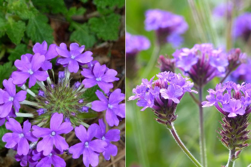 Balra: Verbena canadensis, jobbra: lila verbéna