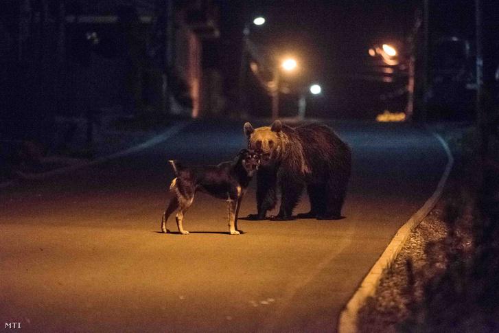 Élelmet kereső medve és egy kutya találkozása Tusnádfürdő egyik utcáján 2017. június 9-én este.