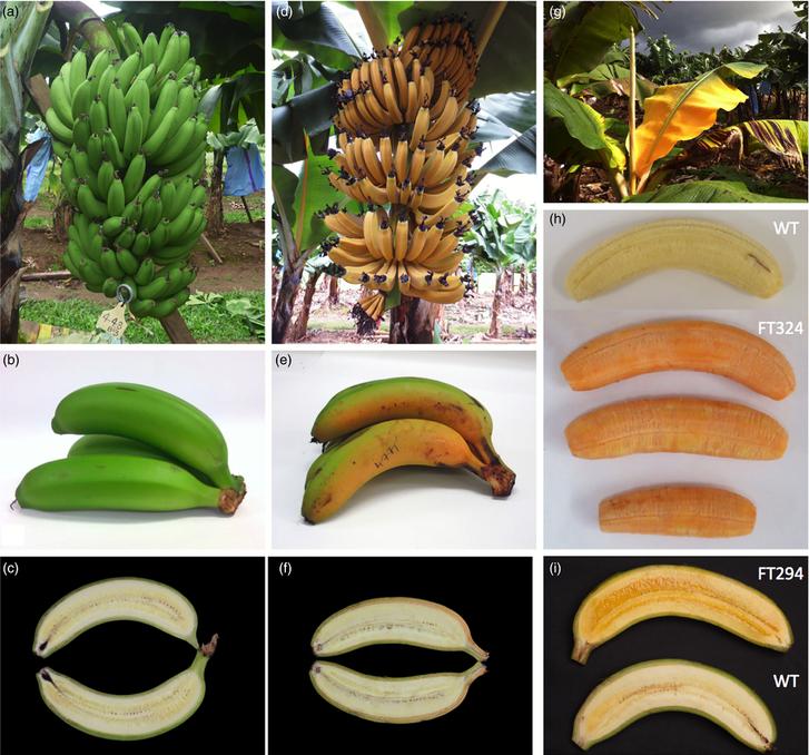 Genetikailag módosított A-provitaminban gazdag banánok