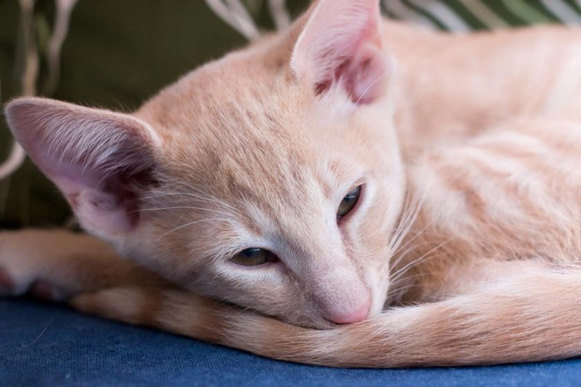 A balinéz macska - mely amerikai eredetű, elnevezését pedig a balinéz táncosok kecsessége ihlette - szervezete kevesebb allergén fehérjét bocsát ki.