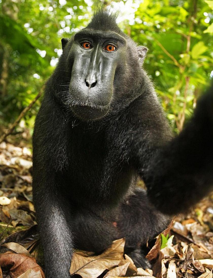 majom-szelfi