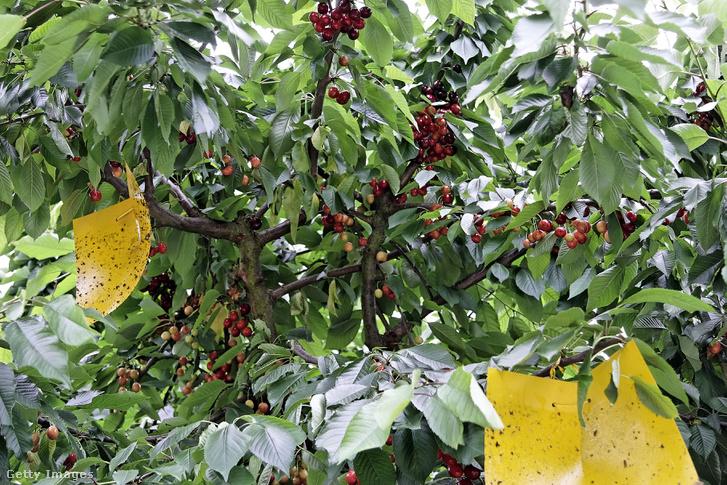 Muslicák elleni védekezés egy gyümölcsösben