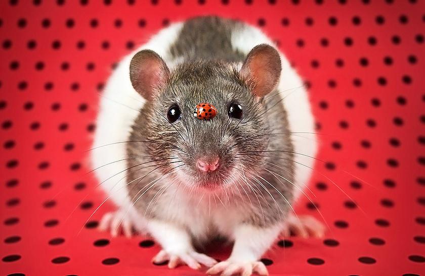 Kjalarr, a patkány békésen tűrte, amikor egy katicabogár szállt az orrára.