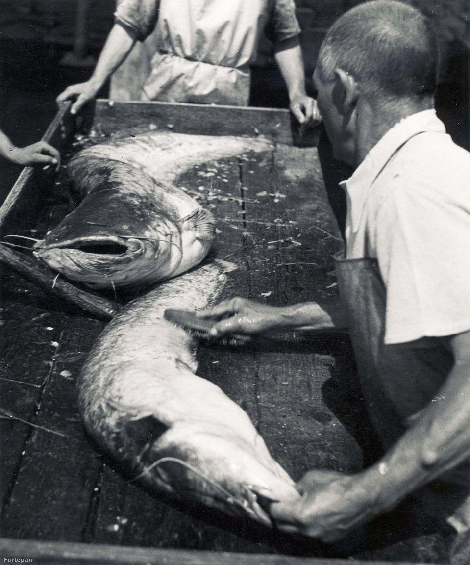 A korabeli halászok haltároló bárkából árulták a friss halat. A kép a pesti alsó rakparton készült 1932-ben a Szabadság híd közelében, a halárus egy 9 kiló körüli szürkeharcsa pucolásával küzd.