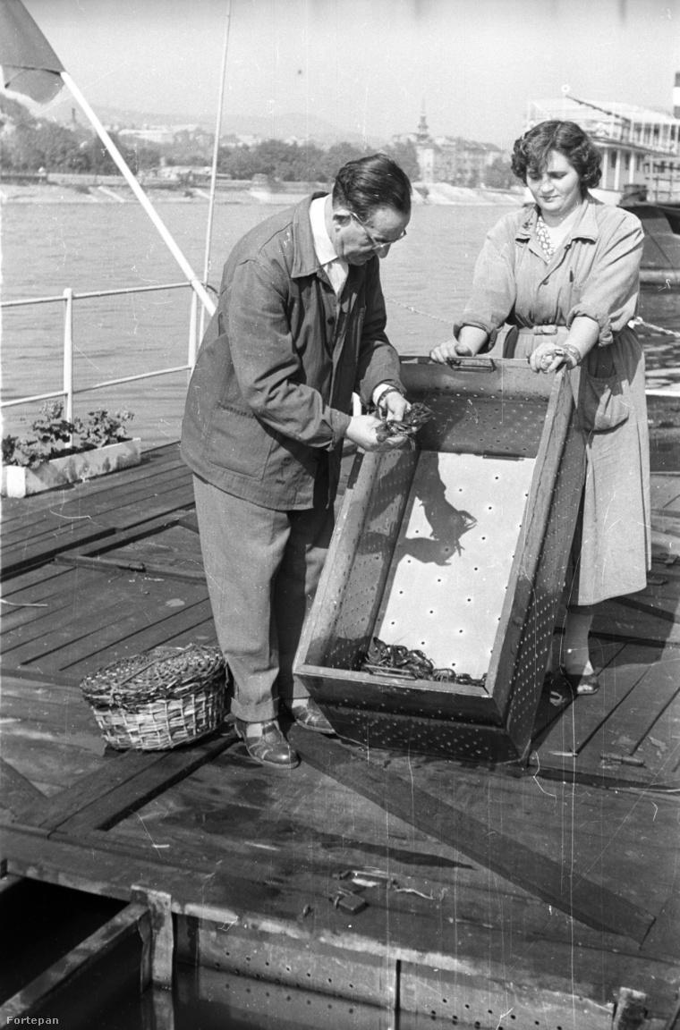 A Duna fővárosi szakasza nem csak halakban, hanem folyami rákokban is bővelkedett. A képen haltartó bárkából válogatnak rákokat a MAVAD (Magyar Vadkereskedelmi Szövetkezeti Vállalat) emberei exportra 1960-ban. A háttérben az Alexandriai Szent Katalin plébániatemplom látható.