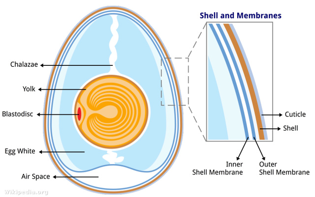 Anatomy of an egg labeled