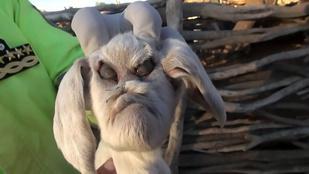 Démonarcú kecske igényelt rendőri intézkedést Argentínában