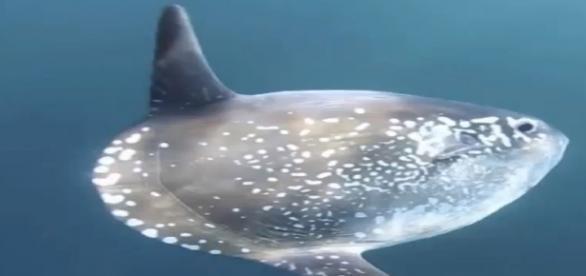 A frissen felfedezett Mola tecta faj.