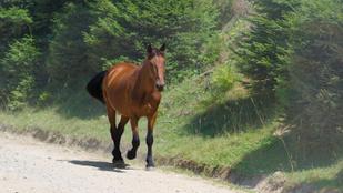 Egy országútra tévedt lóval ütközött egy beteghez siető mentőautó