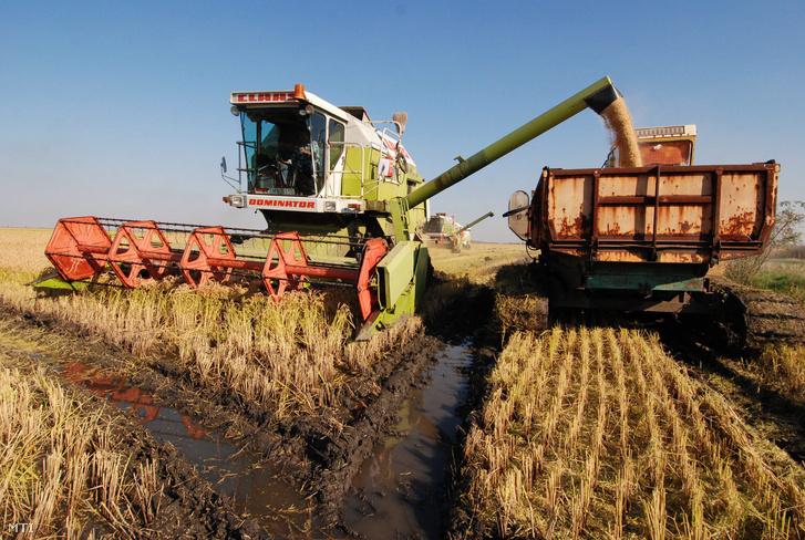 Aratják a rizst Kisújszállás határában