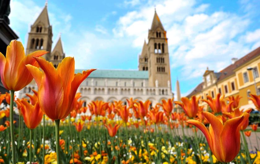 Pécsett a székesegyház előtti tulipánok valóban színpompásak tavasszal.