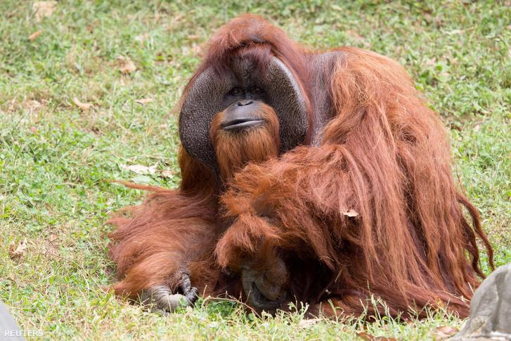 Chantek a Zoo Atlanta állatkertben
