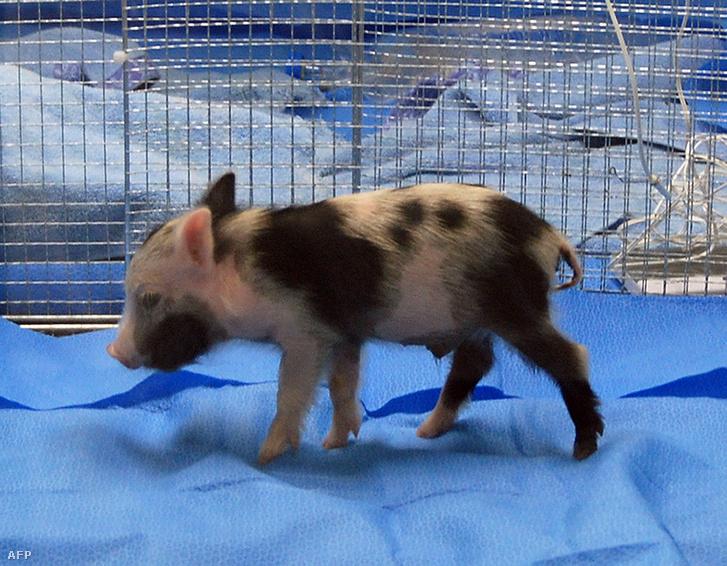 Klónozott kismalac, aminek szervei génmódosítás következtében alkalmasak lehetnek emberi transzplantációra