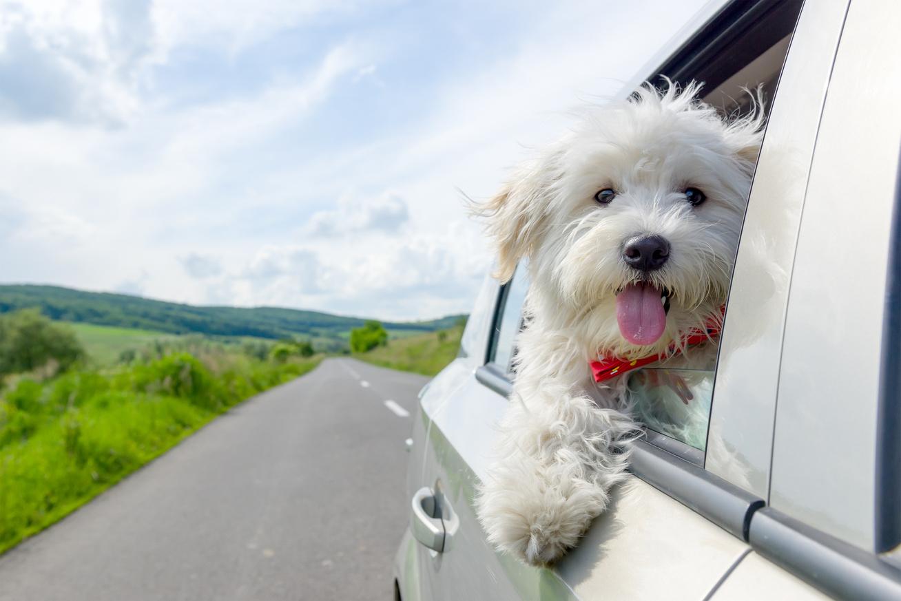 utazo kutya