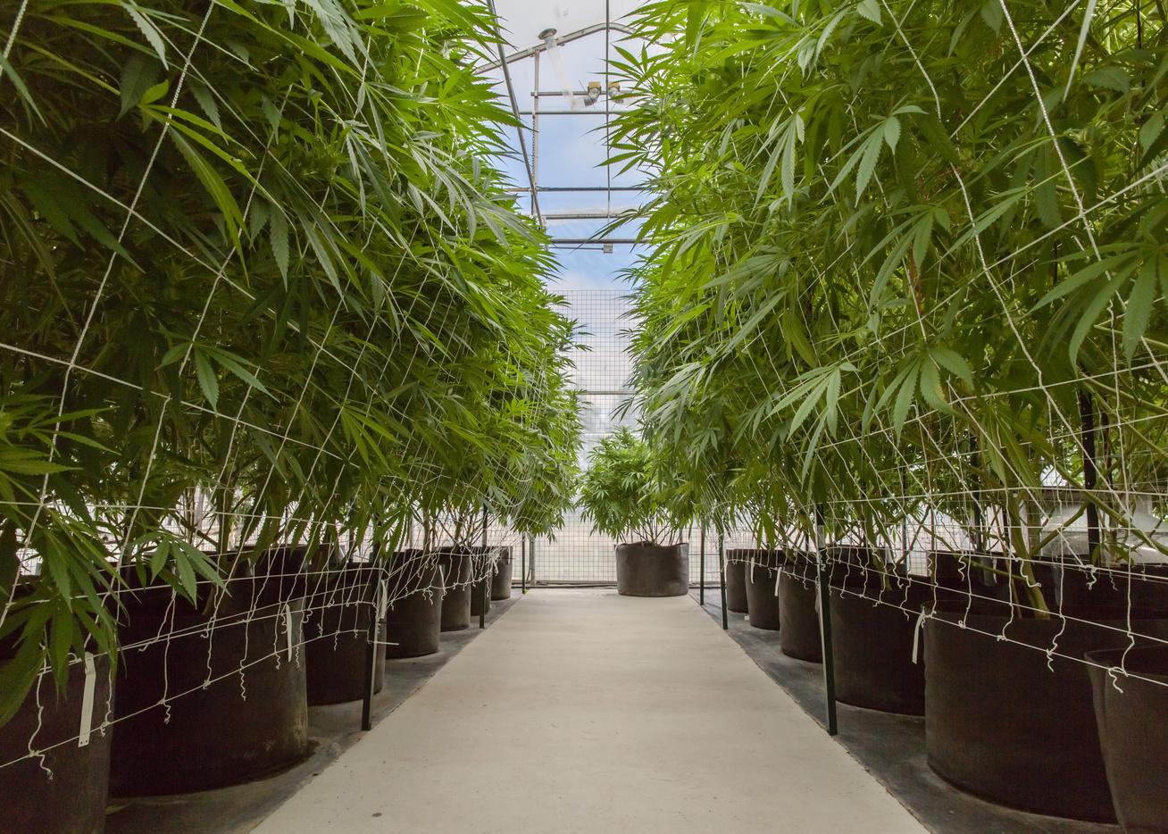orvosi marihuana