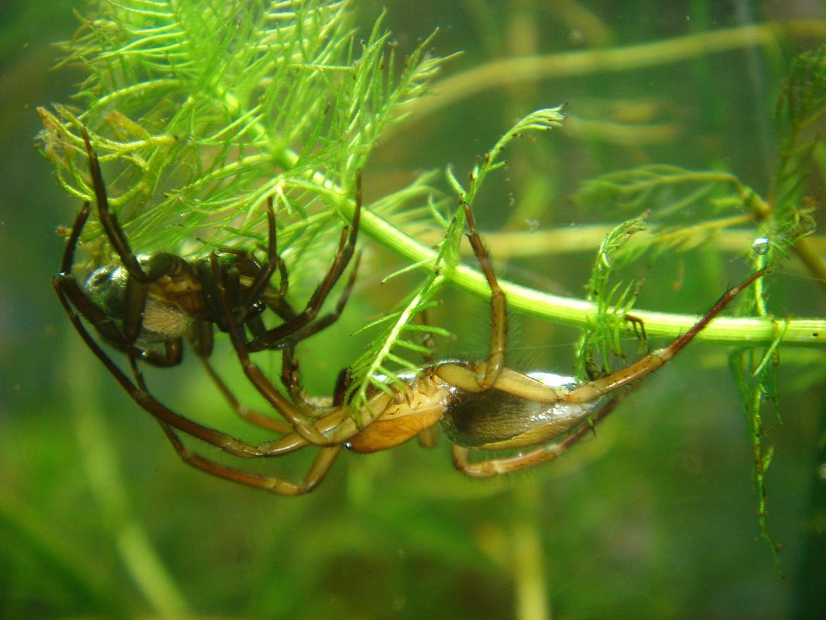 a fogyás segíti-e a pók ereket