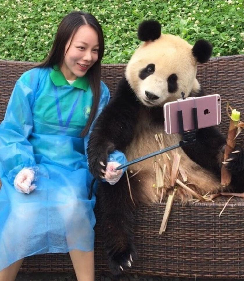 Egy közös szelfire bármikor kapható a panda, még élvezi is, hogy a középpontban lehet.