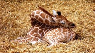 Hogy alszanak a zsiráfok? Hát így!