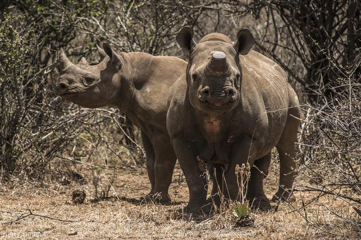 Rinocéroszok egy magánparkban a Dél-afrikai Köztársaságban.