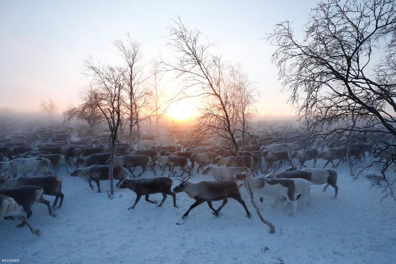 Télen a tundra legdélibb részére, nyáron északra, a tengerhez vonulnak a csordáikkal a gazdák. Nyáron legfeljebb 15 fok van – de júliusban mértek már 33 fokot is –, igaz, éjszaka sincs hidegebb, hiszen a nap negyven napon át le sem nyugszik. Ilyenkor viszont a szúnyogok teszik pokollá az állatok és az emberek életét. Télen meg az, hogy hetekig -20 és -45 fok között van a hőmérséklet, erős széllel felturbózva.
