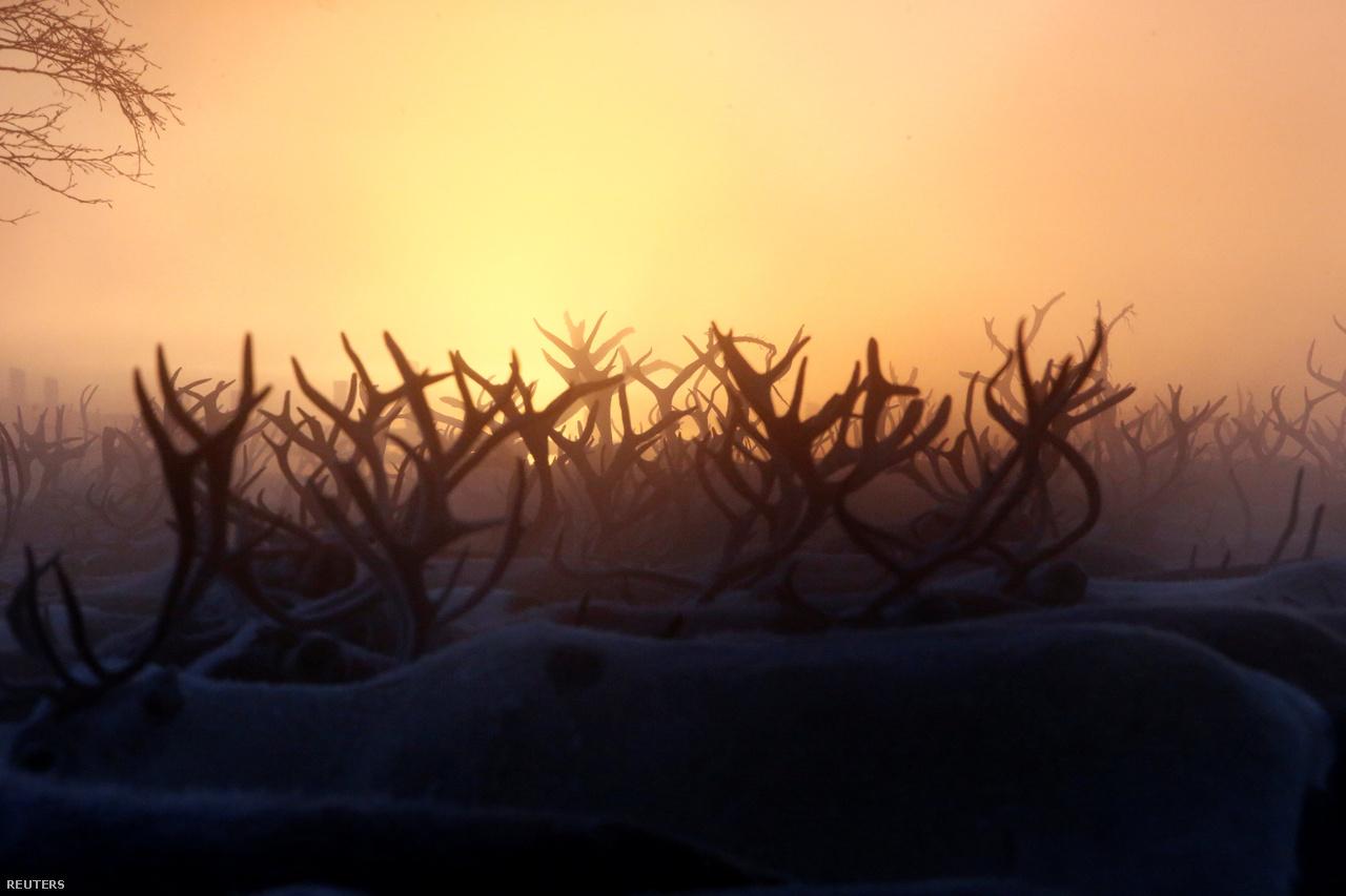 Oroszországban másfél millió rénszarvas él, ebből 800 ezer nyenyec tenyésztők keze alatt van. Ez hússzor annyi szarvas, mint amennyien a nyenycek vannak.                         Ezek a rénszarvasok feldolgozásra, szállításra, szánhúzásra alkalmasak – télen a havon, nyáron a nedves füves mezőkön –, a lovagláshoz kicsik, a gerincük ehhez gyenge.