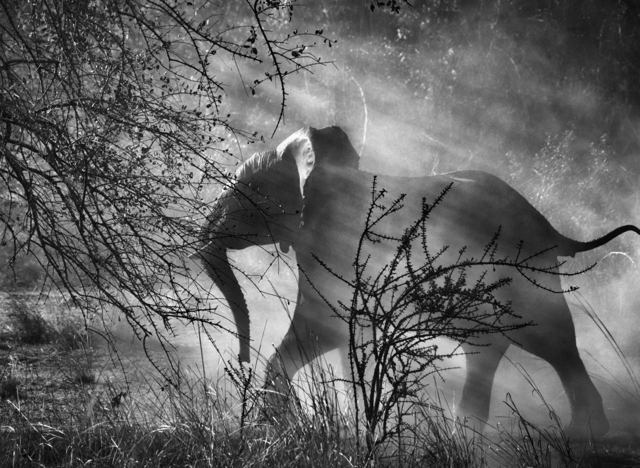 Zambiában az elefántokat (Loxodonta africana) orvvadászok tizedelik, ezért félnek az emberektől és a járművektől, gyorsan beszaladnak előlük a bozótokba. Kafue Nemzeti Park, Zambia, 2010