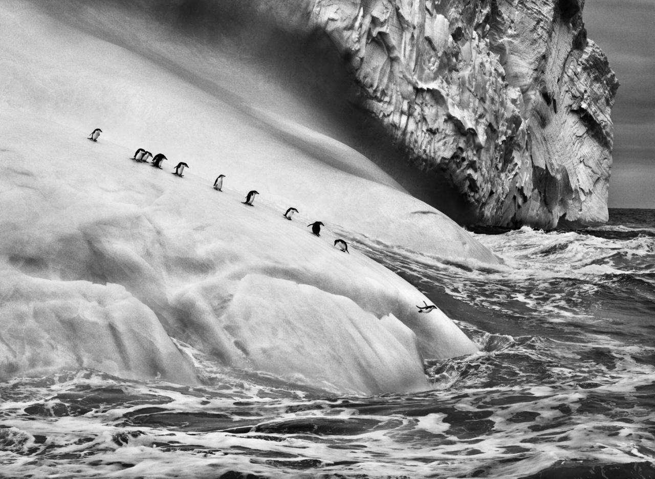 Állszíjas pingvinek (Pygoscelis antarctica) egy jéghegyen a Zavodovski- és a Visokoi-szigetek között. Déli-Sandwich-szigetek, 2009Menedékek