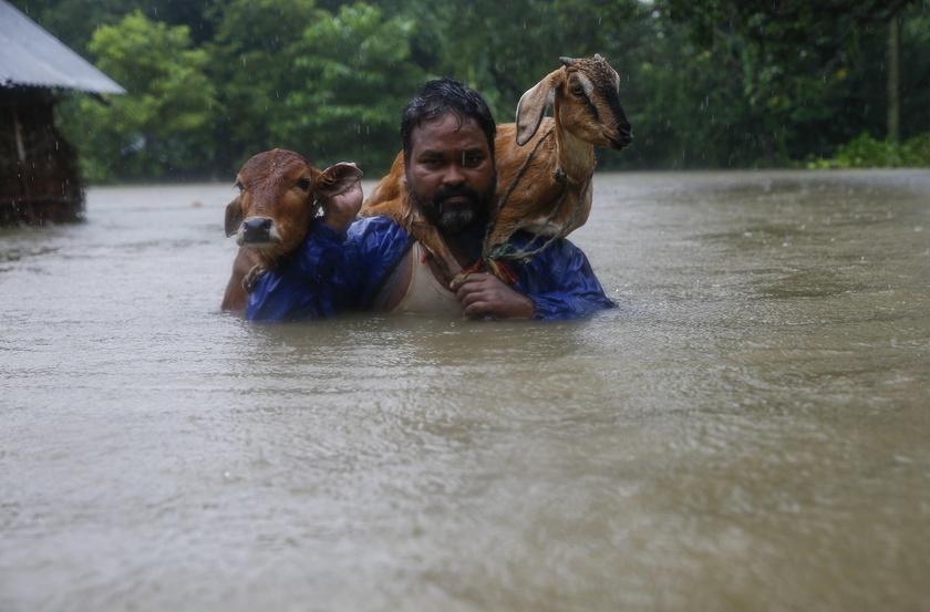 Egy nepáli férfi csaknem mindenét elvesztette: tehenével és kecskéjével menekül az árból.