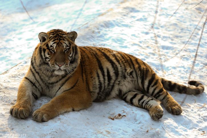 Szibériai tigris fekszik a kínai Siberian Tiger Parkban.