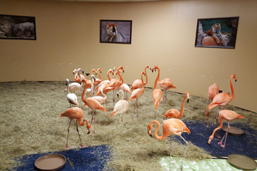 Tampában az állatkert flamingóit biztonságos helyre menekítették Irma elől