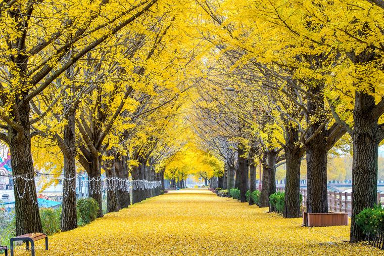 Ázsia más tájaira is érdemesnek tűnik ősszel utazni: ez itt például egy gingko fákkal szegélyezett sétány a dél-koreai Aszanban