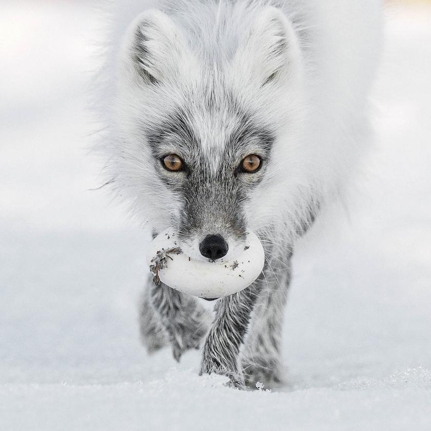 Szergej Gorshkov: Artic Treasure. Egy sarki róka cipeli zsákmányát az Oroszország észak-keleti részén fekvő Wrangel-szigeten.