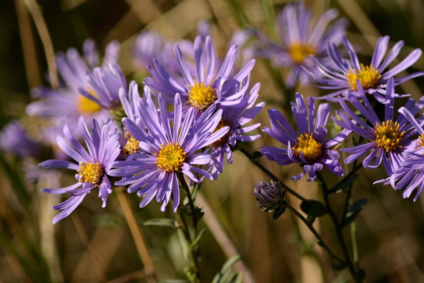 A csillagőszirózsa - Aster amellus - országszerte sok helyen előfordul, de sehol sem elterjedt. Az októberben is nyíló lila virágokért 5 ezer forintot szabhatnak ki.