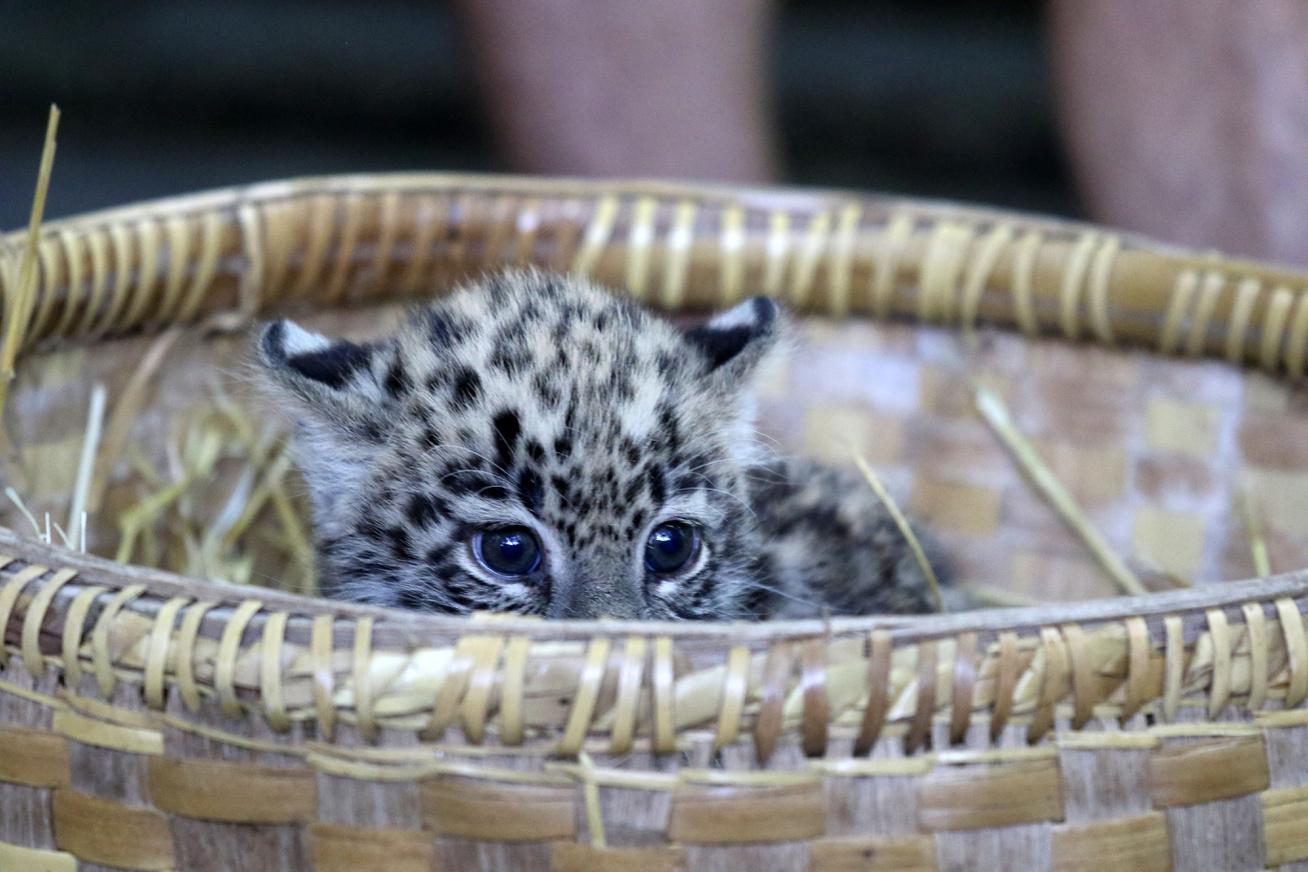 leopard-kosar