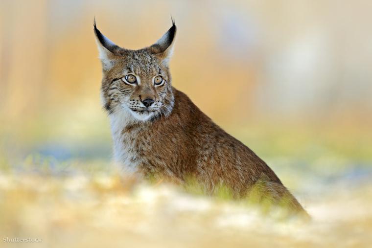 Az eurázsiai hiúz (Lynx lynx) Magyarországon fokozottan védett, egy példány eszmei értéke félmillió forint