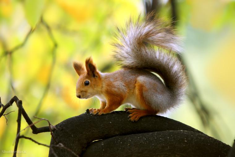 Az európai, vagy vörös mókust (Sciurus vulgaris)  ugye senkinek nem kell bemutatni