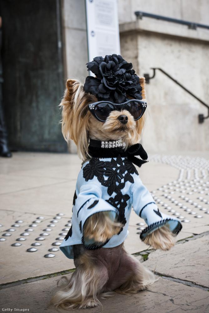 Szegény kutyák sem úszták meg az öltöztetést a divathét alatt.