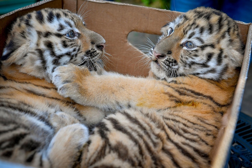 tigris-doboz