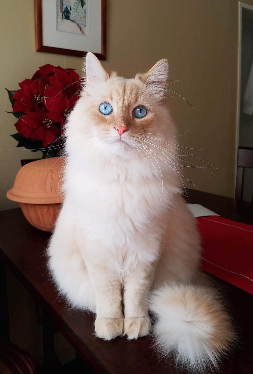 A szibériai erdei macska igazán lenyűgöző, Oroszország hivatalos állatának számít. Szocsi is ilyen cica, és ráadásul a névadó városból származik.