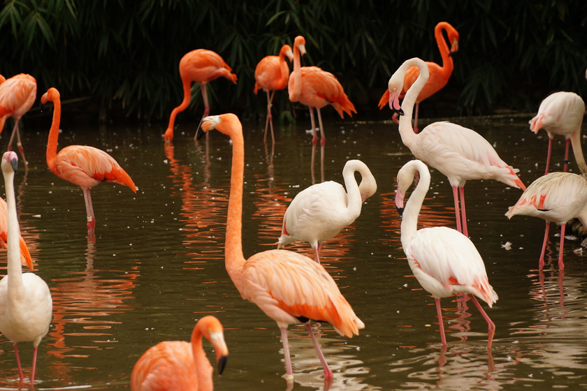 Az élénkpiros flamingók között akad olyan, aki 83 évesen távozott az örök vadászmezőkre. A madár túlélte a második világháborút, majd felépült egy súlyos sérülésből, amit fiatalabb társai miatt kellett elszenvednie.