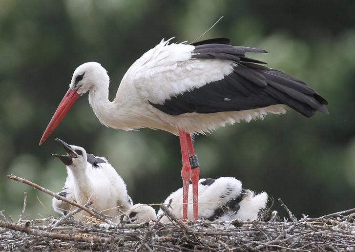 Jeladóval felszerelt, meggyűrűzött gólya