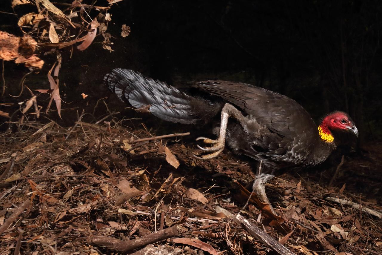 Az inkubátormadár - a faj onnan kapta a nevét, hogy nem testmelegükkel költik ki a tojásaikat, hanem állandó hőmérsékletű fészkeket építenek nekik, amik inkubátorként funkcionálnak.
