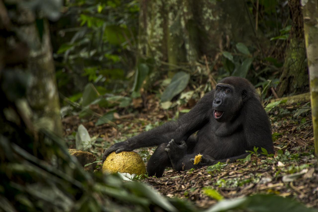 Magas élet - fiatal hím gorilla pihen a talajon egy friss gyümölcs társaságában. Megfigyelői szerint ő az egyik renitens a 16 fős családban, aki állandóan lemarad a többiektől és a saját útját járja. Valószínűleg hamarosan el is szakad majd a csoportjától, hogy más hímekkel összeállva nekiálljon felfedezni a világot, és saját családot alapítson magának valahol.