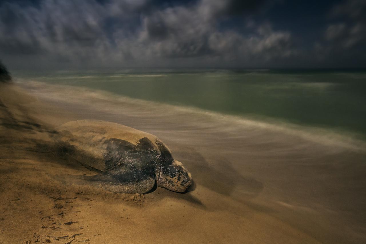 Ősi rituálé - A kérgesteknős evolúciója 100-150 millió éve vált el a többi teknősfajtól, de szokásaik mit sem változtak. Ugyanúgy vonszolják magukat a víz felé, hogy elhelyezzék tojásaikat a költőhelyen, ahol egykor maguk is kikeltek. A Sandy Point Nemzeti Parkban az amerikai Virgin-szigeteken.